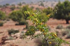Owoc Argan drzewo Obrazy Royalty Free