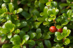 Owoc Bearberry Arctostaphylos uva ursi zdjęcia stock