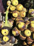Owoc Borassus flabellifer, wątpliwości palma, Palmyra palma, Tala palma lub Toddy palma Zdjęcie Stock
