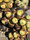 Owoc Borassus flabellifer, wątpliwości palma, Palmyra palma, Tala palma lub Toddy palma Zdjęcie Royalty Free