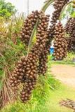 Owoc Daktylowa palma Obraz Stock