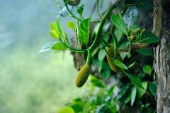 owoc dojrzewają Fotografia Stock