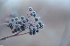Owoc dzikie jagody w opóźnionej jesieni obraz royalty free