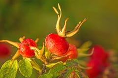 Owoc grula wzrastał fotografia stock