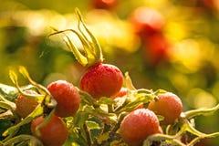 Owoc grula wzrastał zdjęcie stock