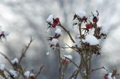 Owoc i gałąź są prześladowanym różanego zakrywającego z lodem i śniegiem Fotografia Royalty Free