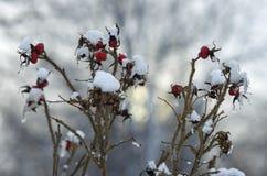 Owoc i gałąź są prześladowanym różanego zakrywającego z lodem i śniegiem Zdjęcie Royalty Free