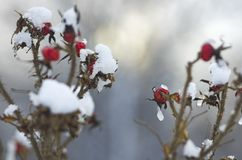 Owoc i gałąź są prześladowanym różanego zakrywającego z lodem i śniegiem Zdjęcia Royalty Free