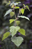 Owoc i kwiat pęcherzyca & x28; Pęcherzycy peruviana& x29; także nazwany C Obraz Stock