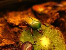 Owoc i kwiatu Chafer skarabeuszu ściga zdjęcia stock