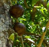 Owoc i kwiaty kalabasy drzewo obrazy stock