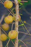 Owoc Indiański agrestowy Phyllanthus emblica Fotografia Stock