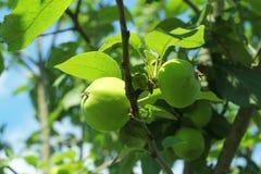 Owoc jabłoń Zdjęcie Royalty Free