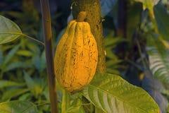 Owoc kakao na drzewie Obraz Stock
