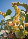 owoc kaktusowy optunia Zdjęcie Stock