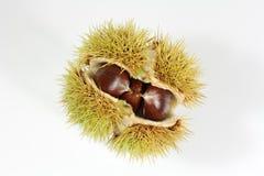 Owoc kasztan Zdjęcia Stock