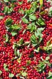 Owoc kornalina jeden najwięcej witamin owoc w th fotografia royalty free