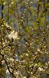 Owoc kwitnie w wiośnie Fotografia Royalty Free