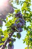 Owoc śliwki na drzewie Obrazy Royalty Free