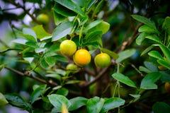 Owoc mandarynka na gałąź Zdjęcia Royalty Free