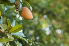 Owoc Manilkara zapota, sapodilla drzewo Zdjęcia Royalty Free