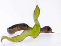 Owoc miodowa szarańcza Zdjęcie Royalty Free