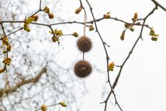 Owoc na drzewie w Kąpielowych platanus orientalis fotografia stock