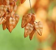 Owoc pęcherzycy drzewo Zdjęcia Royalty Free