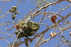 Owoc parasolowa cierniowa akacja, Vachellia tortilis zdjęcie stock