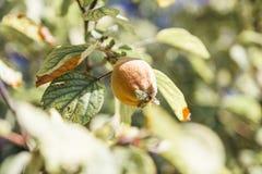 Owoc pigwy dorośnięcie na drzewie Zdjęcie Royalty Free