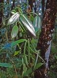 owoc rośliny wanilia Fotografia Stock