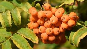 Owoc rowanberry zakończenie zbiory