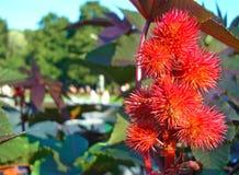 Owoc rycynowy drzewo w miasto parku zdjęcie royalty free