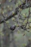 Owoc stary wysuszony bonkrety czerń Obraz Stock
