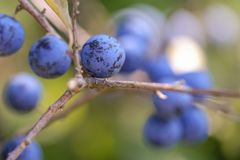 Owoc tarnina - miękki bokeh zdjęcia royalty free