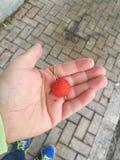Owoc truskawkowy drzewo w mój ręce zdjęcie royalty free