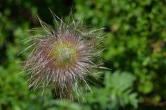 Owoc wysokogórski pasqueflower lub wysokogórski anemon Zdjęcia Stock