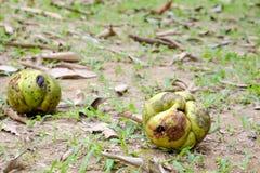 Owoc z ziarnami jabłko, chulta, chalta lub ouu słonia, Obraz Royalty Free