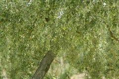 owoc zielonej oliwki Spain drzewo Zdjęcia Royalty Free
