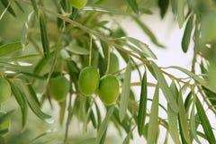 owoc zielonej oliwki Spain drzewo Obraz Stock