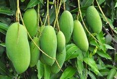 Owoc - Zielony mango Obraz Royalty Free