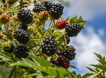 """Owoce czarnych soczystych jeÅ ¼ yn w promieniach letniego sÅ 'oÅ """"ca fotografia stock"""