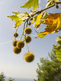 owoce szusowatych kłujący round Zdjęcia Stock