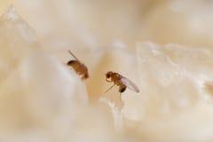 Owocowa komarnica zdjęcia stock