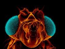 Owocowa komarnica Obrazy Stock
