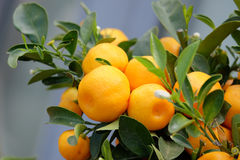 Owocowa mandarynka na gałąź zdjęcia stock
