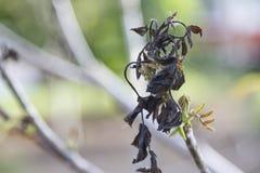 Owocowa roślina uszkadza mrozem Zdjęcie Stock