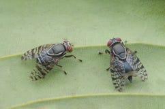 Owocowe komarnicy obrazy royalty free