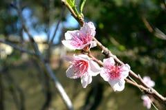 Owocowego drzewa okwitnięcie Brzoskwinia, nektaryna zdjęcia royalty free