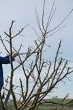 Owocowego drzewa opieka - zimy przycinać Obraz Royalty Free